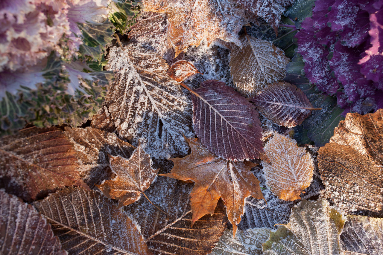 autumn-leaves-frost